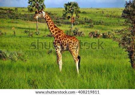 Standing Rothschild's giraffe at Murchison Falls National Park in Uganda