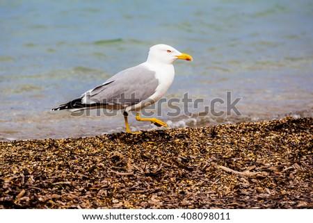 Standing seagull - stock photo