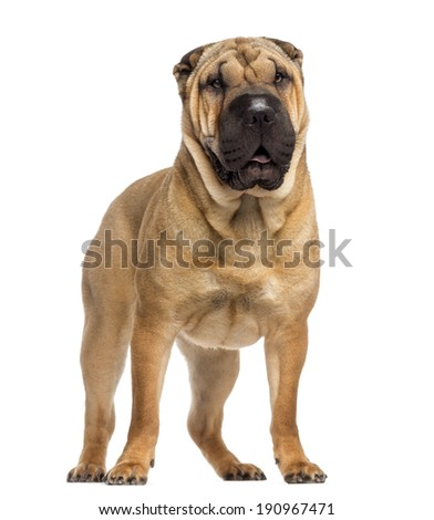 Chihuahua 3 Years Old And Shar Pei Puppy 3 Months Old