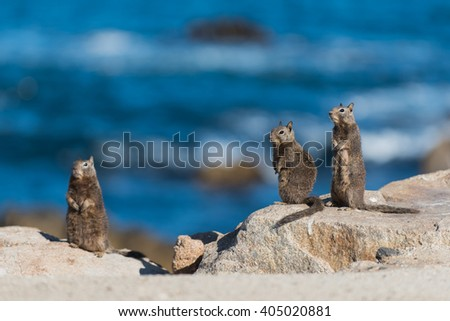 Standing squirrels 3 of them on rocks with the Pacific Ocean in the background - stock photo