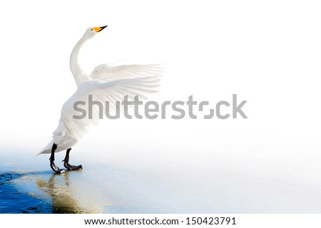 Standing swan on ice edge with spread wings - stock photo
