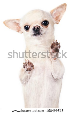 standing up chihuahua vertical picture - stock photo