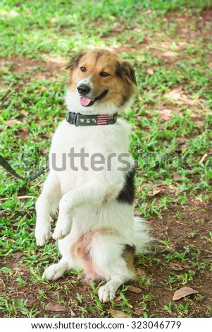 Standing up young Thai bangkaew dog