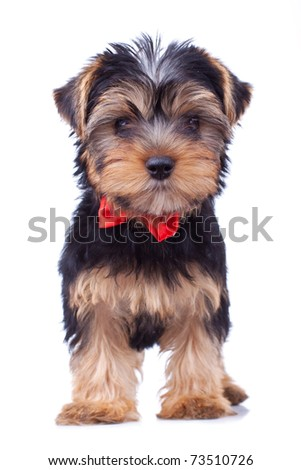 Standing yorkshire puppy with red bow, isolated - stock photo