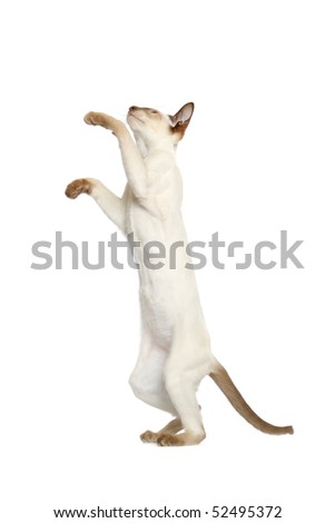 Standing young Siamese cat - stock photo