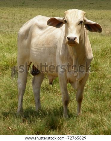Standing zebu - stock photo