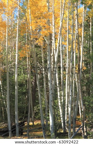 stands of aspens in the fall - stock photo