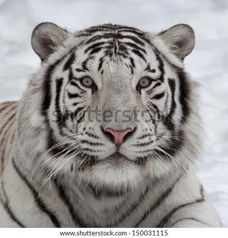 Stare of a white bengal tiger, lying on snow. Wild beauty of the most dangerous beast of the world. Face portrait of the biggest cat. - stock photo