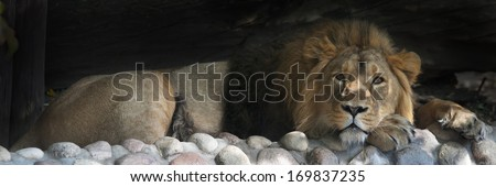 Stare of an Asian lion, calm lying in the tree shadow. The King of beasts, biggest cat of the world. The most dangerous and mighty predator of the world. Beauty of the wildlife. - stock photo