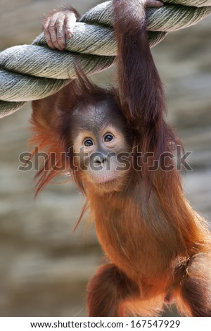 Stare of an orangutan baby, hanging on thick rope. A little great ape is going to be an alpha male. Human like monkey cub in shaggy red fur. - stock photo
