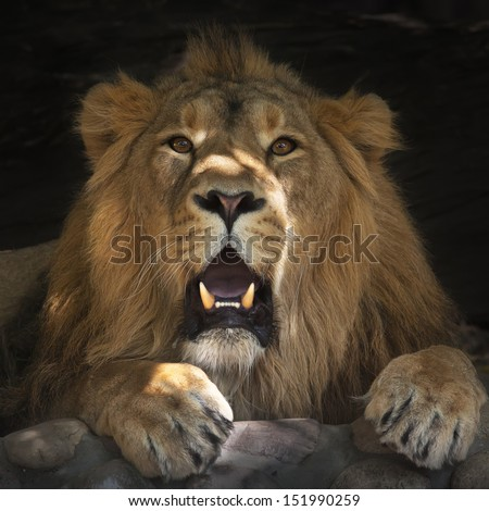 Stare of the lying lion with some plashes of sunlight on his face. The King of beasts is resting in forest shadow. The biggest cat and the most dangerous raptor of the world shows his huge fangs. - stock photo