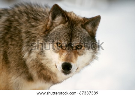 stare of timber wolf in winter, rehab environment - stock photo