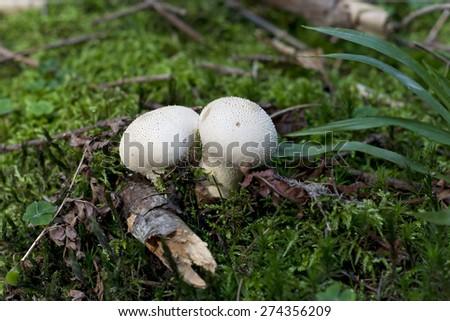 starfish fungus - gemmed puffball - stock photo