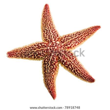 Starfish isolated on white - stock photo
