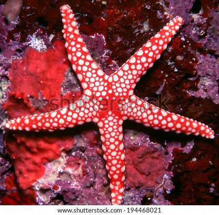 Starfish on a tropical reef - stock photo