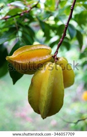 Starfruit (Averrhoa Carambola) growing on a tree