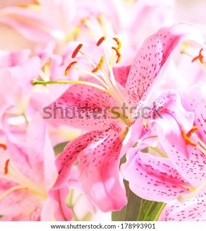 stargazer lily - stock photo