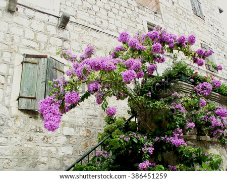 Stari Grad, Hvar - Croatia, 2006: Flower bugenvila in front of the old rock house in Stari Grad, the oldest town in Croatia and historical heart of the island of Hvar