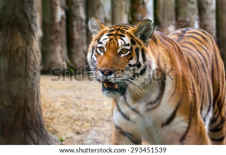 Staring Glance of Tiger