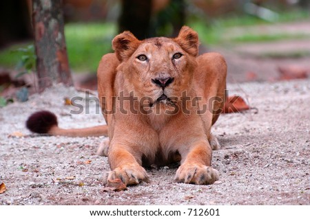 staring lioness in a local zoo - stock photo