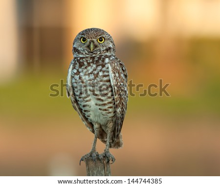 Staring Owl perching on post with blurred background - stock photo