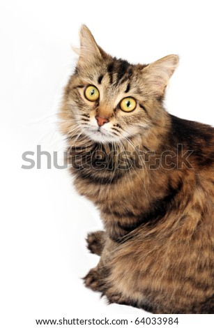 Staring tabby cat on the white background - stock photo