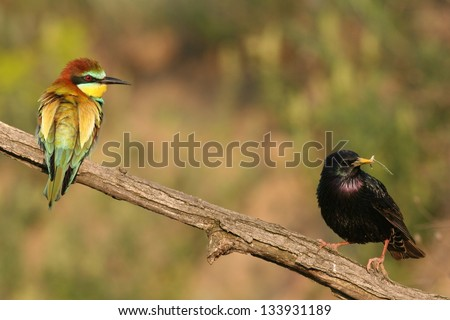 Starling and bee-eater perched on a twig - stock photo