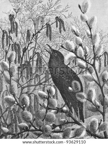 """Starling. Engraving by Arland from picture by painter Schmidt. Published in magazine """"Niva"""", publishing house A.F. Marx, St. Petersburg, Russia, 1893 - stock photo"""