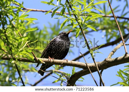 Starling on spring tree