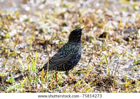 starling on the grass
