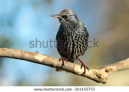 Starling perched on a tree branch. - stock photo