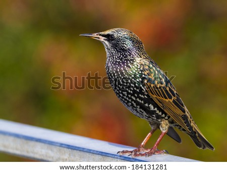 Starling  (Sturnus vulgaris) perched on a rail