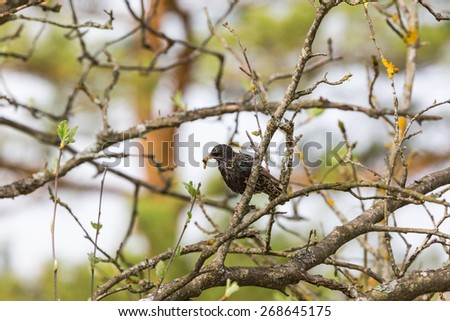 Starling with a yellow caterpillar in its beak in spring - stock photo