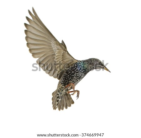 Starling Spread Wings Isolated On White Stock Photo Edit Now