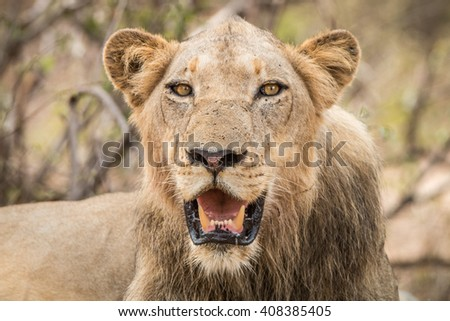 Starring Lion in the Kruger National Park, South Africa.