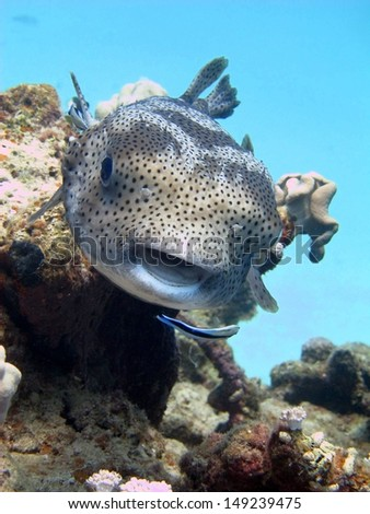 Starry puffer (Arothron stellatus) on the cleaning station. Cleaning by the cleaning wrasse. Red sea, Egypt - stock photo