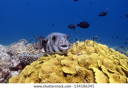 Starry puffer (Arothron stellatus) resting on the top of green salad coral - stock photo