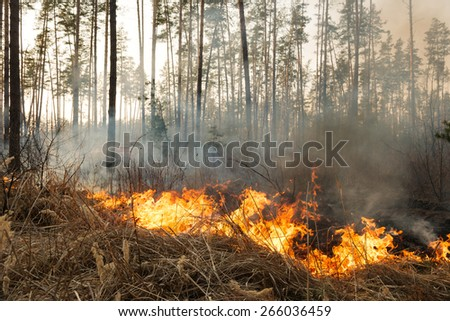 Starting of forest fire in pine stands. Flame is starting damage of trunk - stock photo