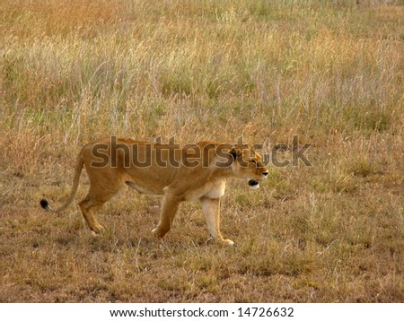 Stealthy Lioness (Female Lion) - stock photo