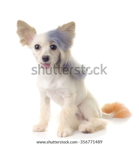 Steamed Punk Maltipoo, a designer toy dog breed - stock photo