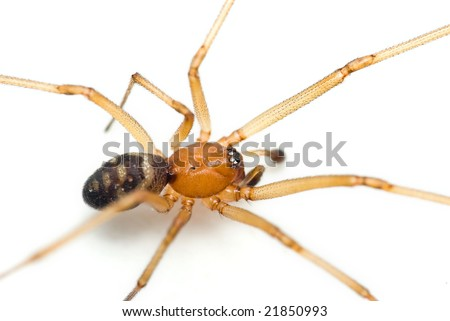 Steatoda grossa commonly known as the cupboard spider, the dark comb-footed spider, the brown house spider or the false black widow. - stock photo