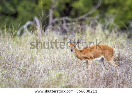 Steenbok in Kruger national park, South Africa ; Specie Raphicerus campestris family of bovidae