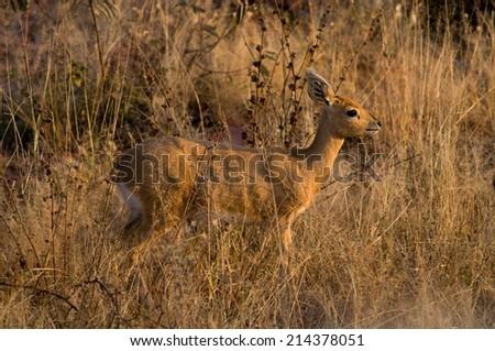 Steenbok in long grass - stock photo