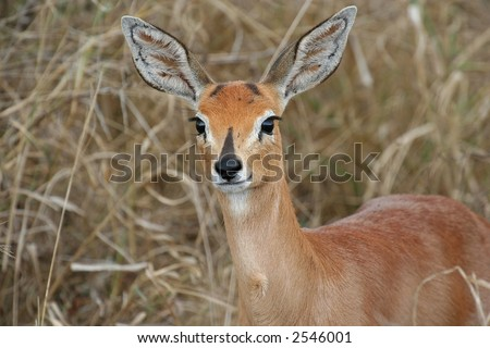 Steenbok in the african bush - stock photo