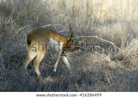 Steenbok, Raphicerus campestris ,Gorongosa National Park, Mozambique