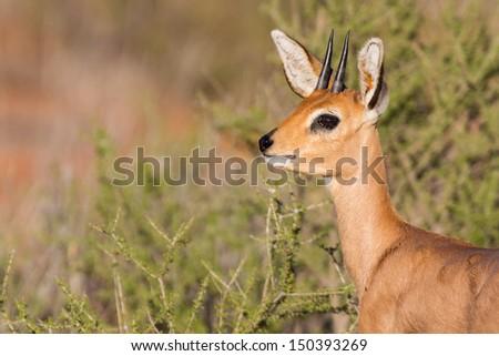 Steenbok standing in scrub in kalahari looking back for danger - stock photo