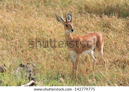 steenbok wild animals african mammal savannah plains and deserts africa kalahari desert kgalagadi national park south africa botswana nature parks and nature reserves - stock photo