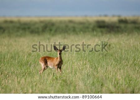 Steenbuck female standing in greengrass in sunlight - stock photo