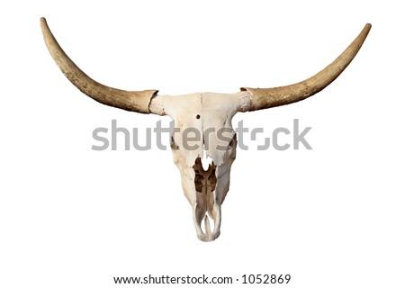 steer skull isolated - closeup of longhorn skull - stock photo