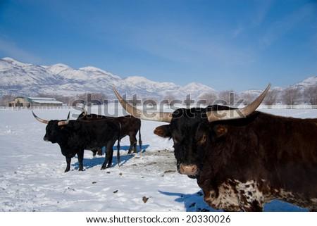 steers on the prairie - stock photo